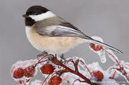 chickadee snow